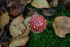 DSC 0051 Fly Agaric by wintersmagicstock