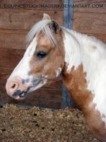 Miniature Horse 10 by EquineStockImagery