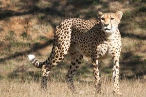7864 - Cheetah by Jay-Co