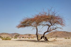 A Desert Tree by pharaohking