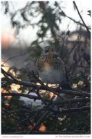 Rare FieldFare Visitor by In-the-picture