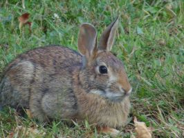 Whitetail Rabbit II by chickadee-studio