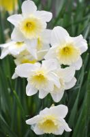 White daffodil cluster by snoogaloo