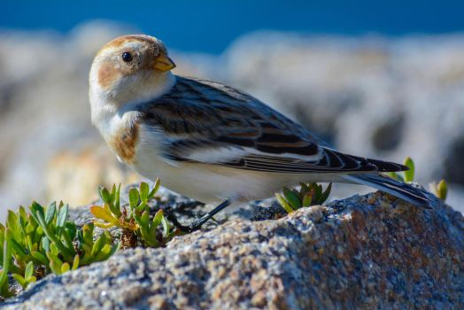 Snow Bunting by jcolimbo34