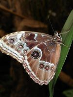 Brown Butterfly by NaruXD