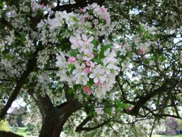 Apple Blossoms by JollyStock