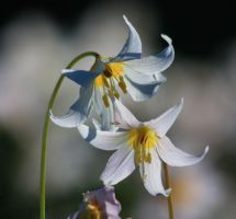 Avalanche Lily by Sp3nc3r-H1nds