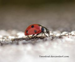 Ladybug by Tannkost