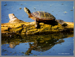 The turtle by Mogrianne