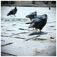 pigeons 02 by rosco-the-third