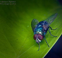 Housefly on the house 5 by lee-sutil