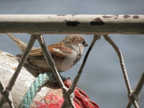 Sparrow on Nile by Hjalberts
