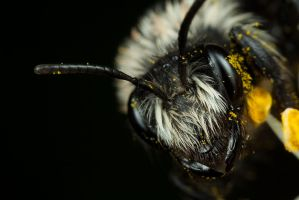 Solitary Bee 3 by Alliec