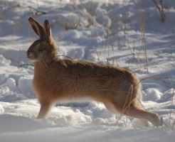 Hare stretch by decors