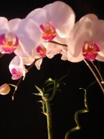 orchidee by sweetiefee