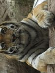 Siberian Tiger 02 by animalphotos