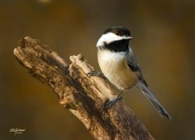 Golden Chickadee by DGAnder
