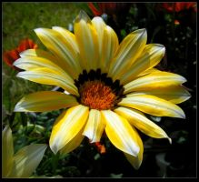 Yellow and White Gazania by JocelyneR