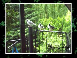 Our balcony doves by WaterdragonWave