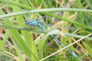 Blue Dragonfly by Melee-pic