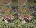Stereograph - Cactus Flower by alanbecker