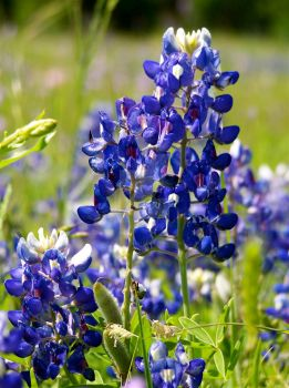 Texas Blue Bonnets by Mandinga801