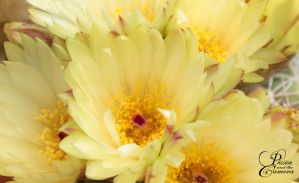 Yellow Cactus Flower by PassionAndTheCamera