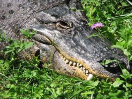 American Alligator Stock 4 by HOTNStock