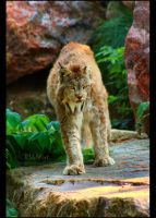Wild Cat II by Sagittor