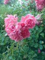 Pink Roses by Relic-Angel