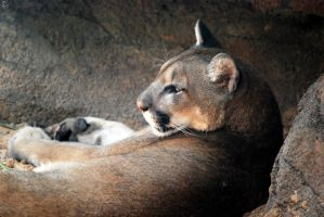 Houston Zoo - Cougar by BPHaines