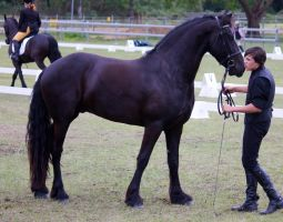 STOCK - Friesian Show 2012-158 by fillyrox