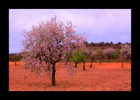 Almond Trees 02 by ximocampo