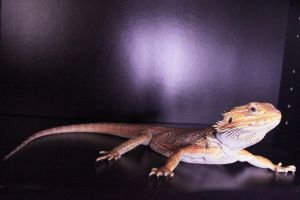 Bearded Dragon Stock 04 by DigitalissSTOCK