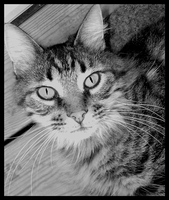 Kitty Black and White by jwall77