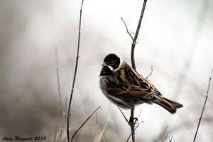 Reed Bunting by aggz-w