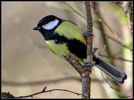 Great Tit 4 by cycoze