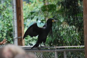 double-crested cormorant 3.3 by meihua-stock