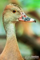 Plumed Whistling Duck by amaliabastos