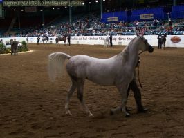 US Nationals 07 Halter Extra 1 by Nyaorestock