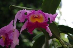 Orchid VII by friedapi