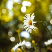 Daisies VI by Justysiak
