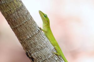 Green Anole by ribbonworm