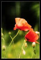 Poppies... by Elessar777