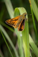 Large skipper by DavidVeevers