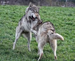 wolves playing tag by Yair-Leibovich