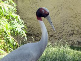 Sarus Crane by HDevers