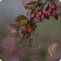 Barberries1 by Camomelle