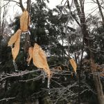 The Beech's Tears Are Frozen by VoiceInForestShadow