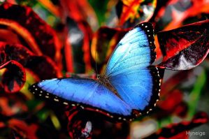 Papillon en bleu sur texture d'orange by hyneige